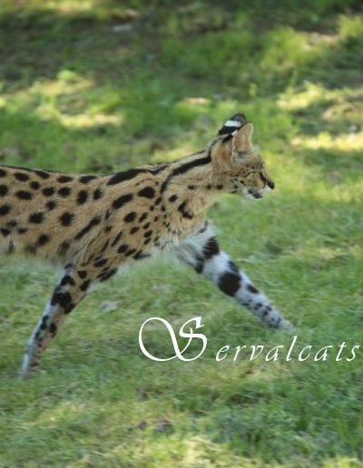 14482552 - serval